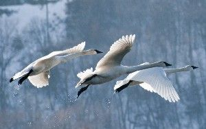 Where can I see swans?