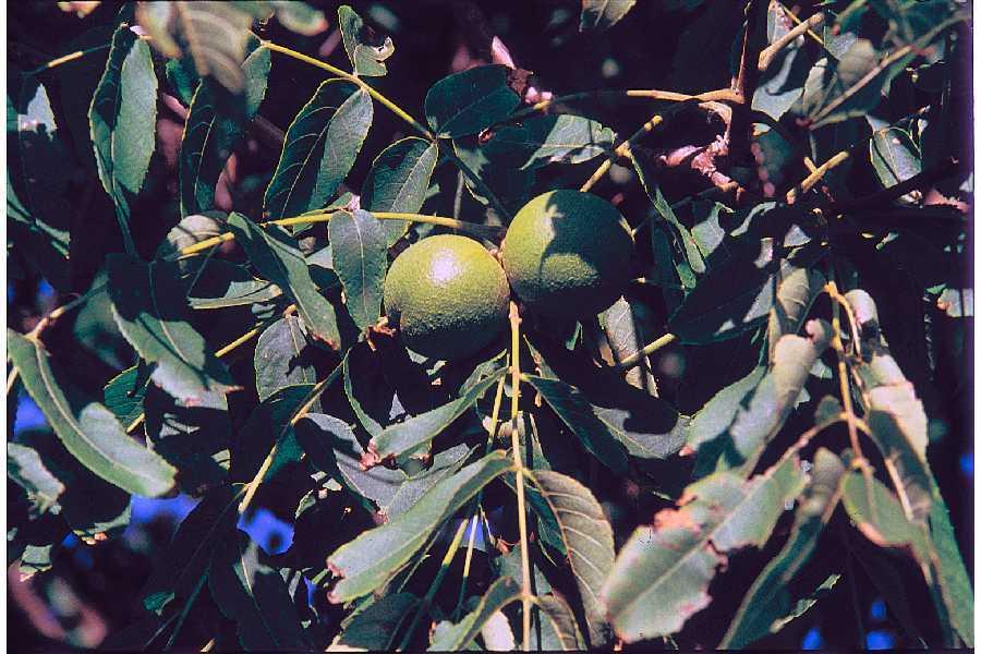 """Black Walnut - Pack of 100 Seedlings (6""""-12"""")"""