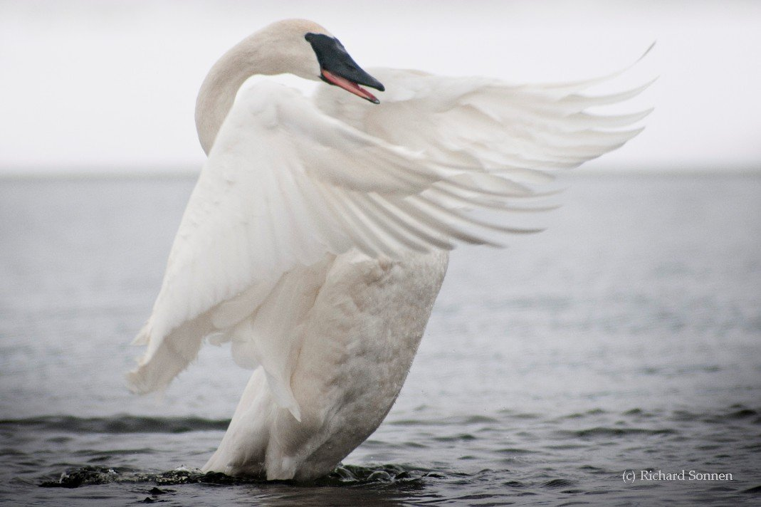 Wing display and open mouth of Trumpeter Swan