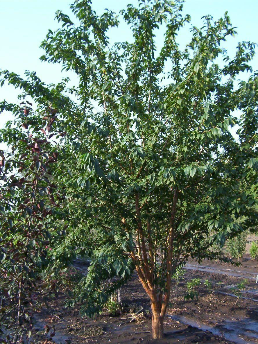 "Chokecherry  - Pack of 5 Seedlings (12""-18"")"