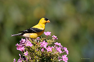 American Goldfinch (breeding plumage)