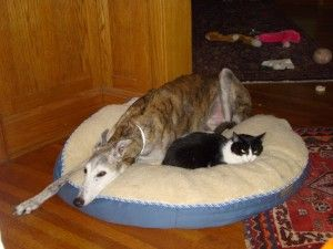 Do Greyhounds get along with cats?