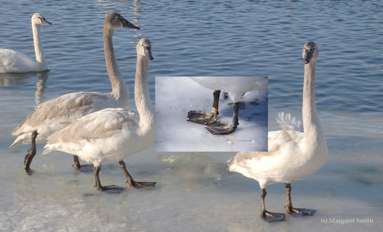 By their first winter Trumpeter Swan cygnet feet and legs vary in color