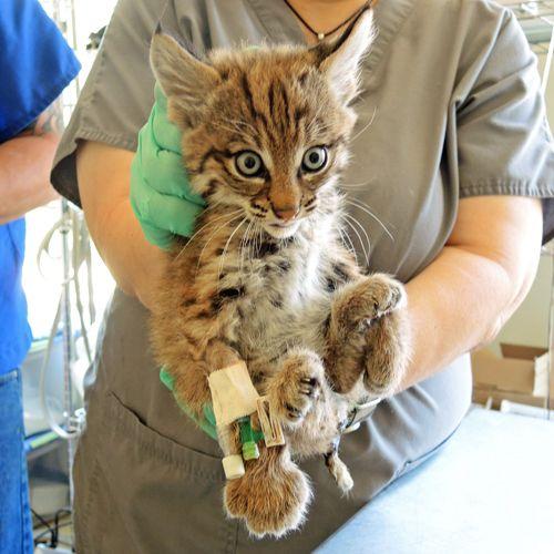 Dizzy Bobcat's Foster Kittens 2 of 2