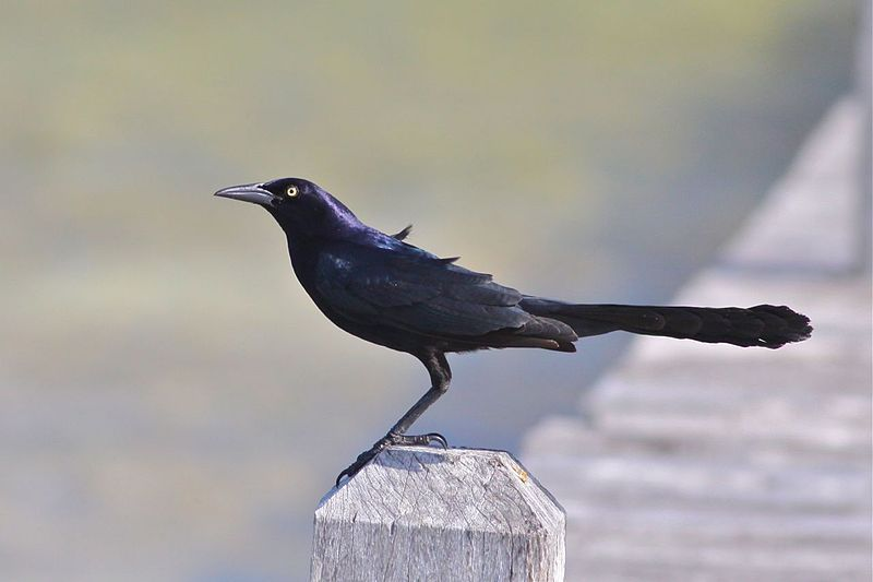 Should Grackles Be Houston's Official City Bird?