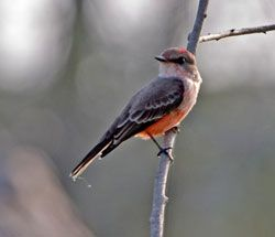 Vermilion Flycatcher (immature male)
