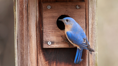 Bluebird Box Monitoring