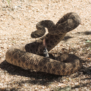 I have a rattlesnake in my backyard. What do I do?