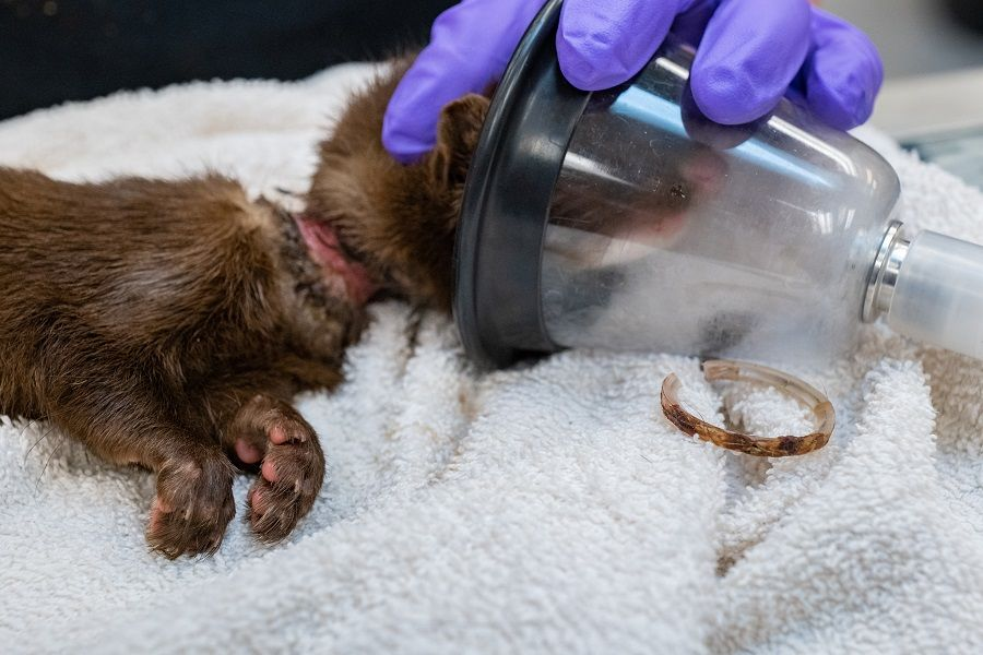 Discarded trash puts young mink's life at risk