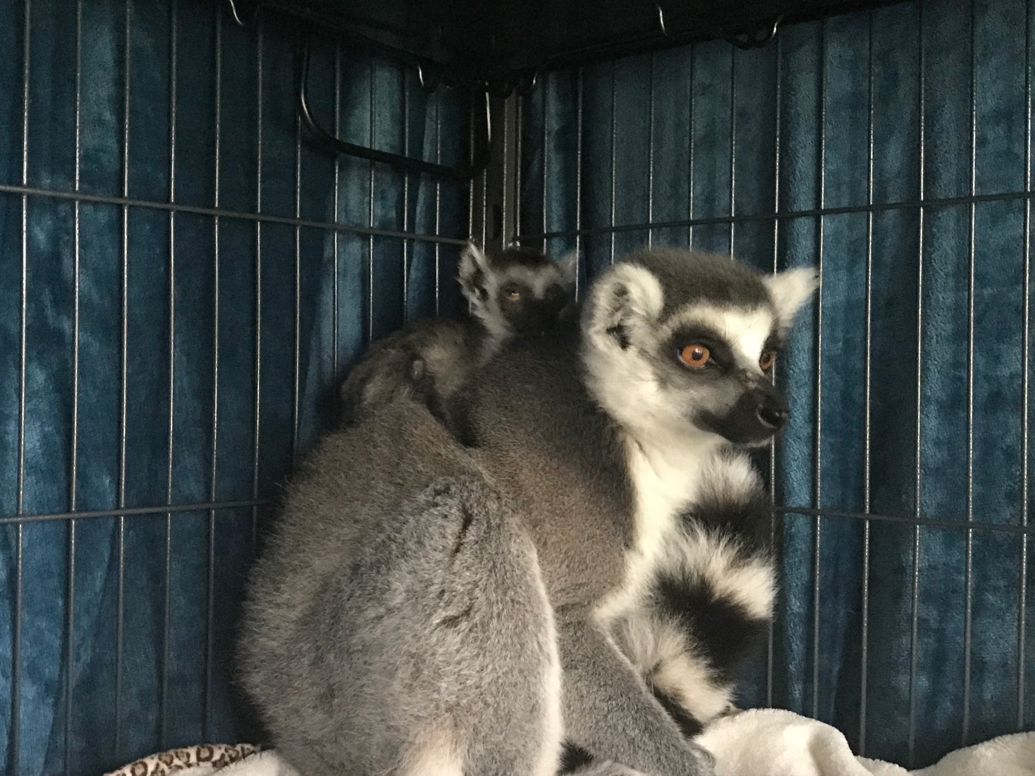 Mom and baby lemur