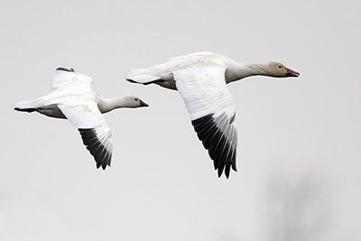 Ross's Goose and Snow Goose