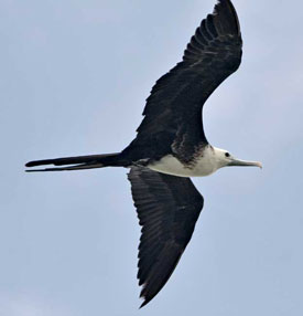 Beak of the Week: Magnificent Frigatebird