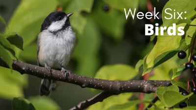 Audubon at Home Week Six: Birds