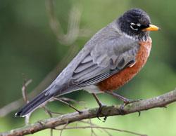 American Robin (Eastern subspecies)