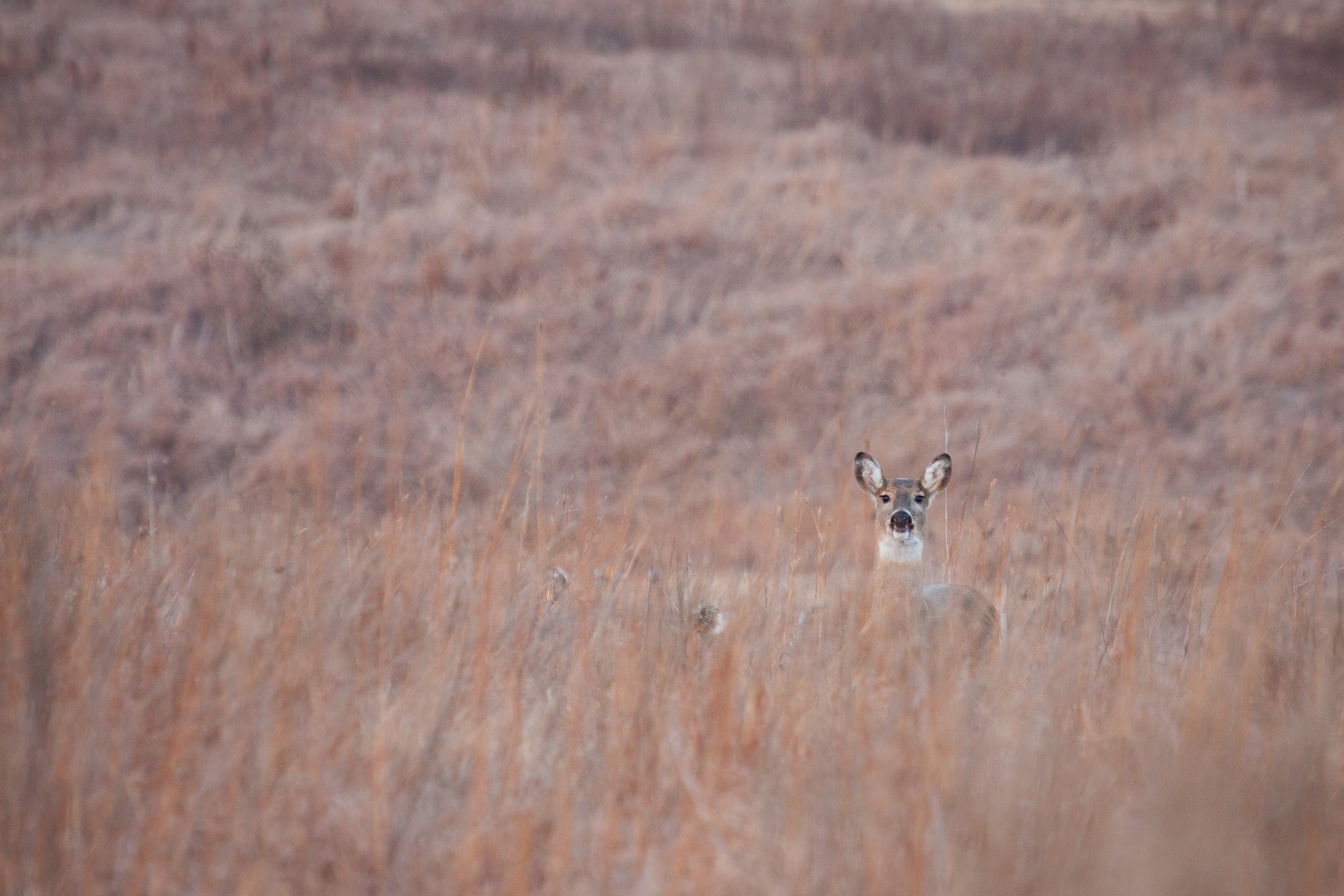 Deer in Tallgrass by Adrian Olivera