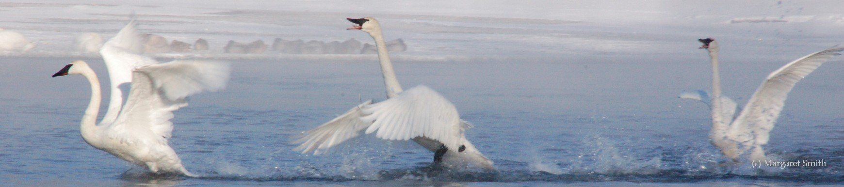 Trumpeter Swans have a distinctive bugle trumpet call