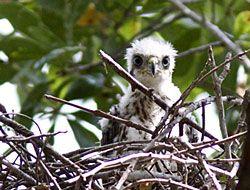 Cooper's Hawk (chick)