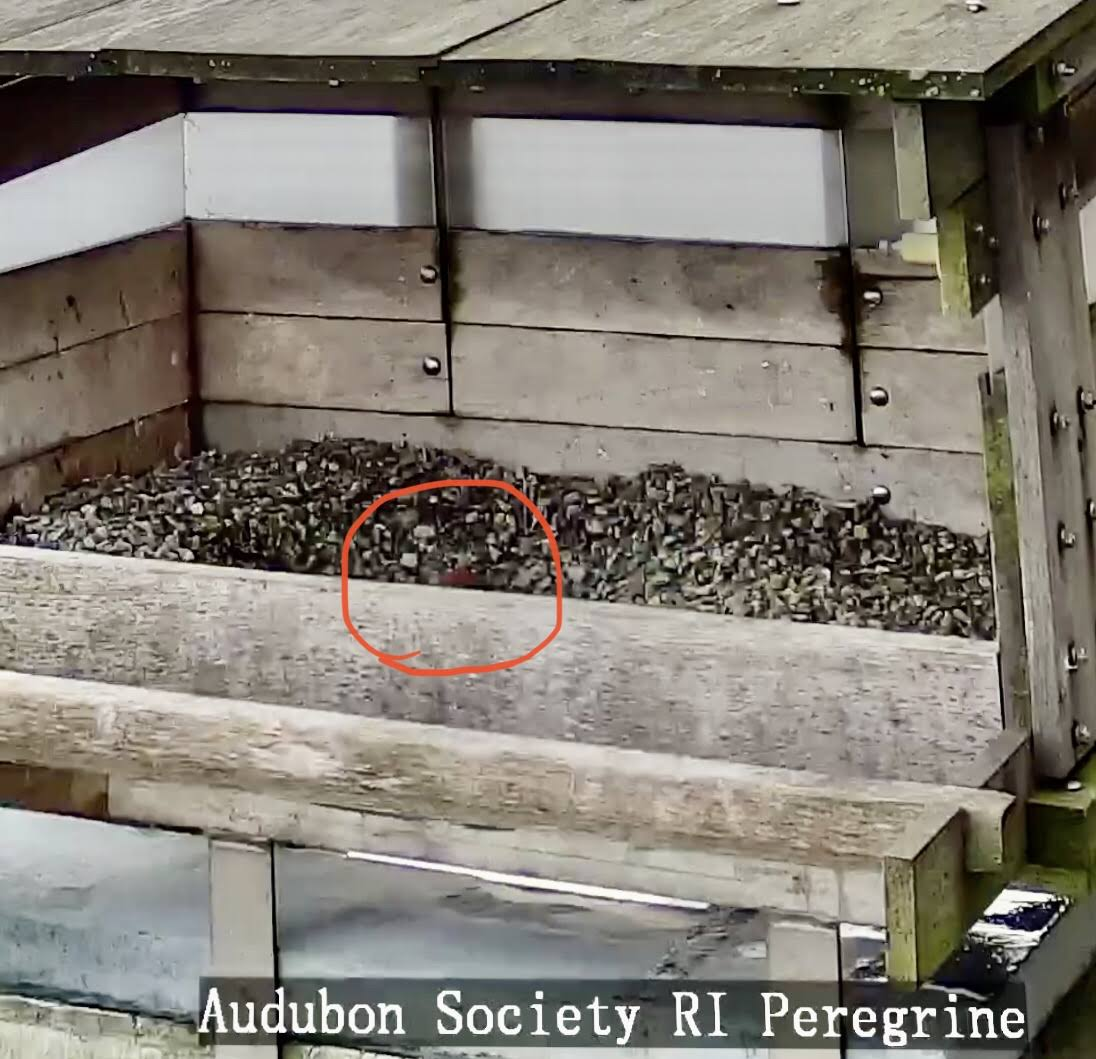 First Providence Peregrine Falcon Egg 2020