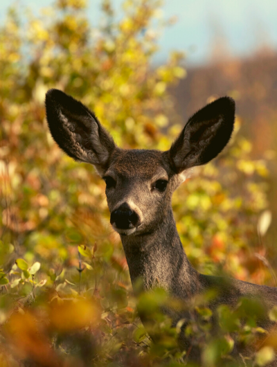 A female mule deer, ears alert, looks toward the camera with a beautiful summer yellow plant in the background