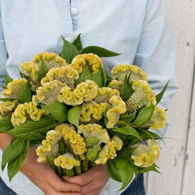 'Cramer's Lime' Celosia