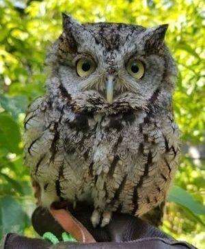 Audubon's new gray morph Eastern Screech-Owl