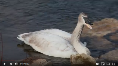 YouTube video of cygnet with lead poisoning