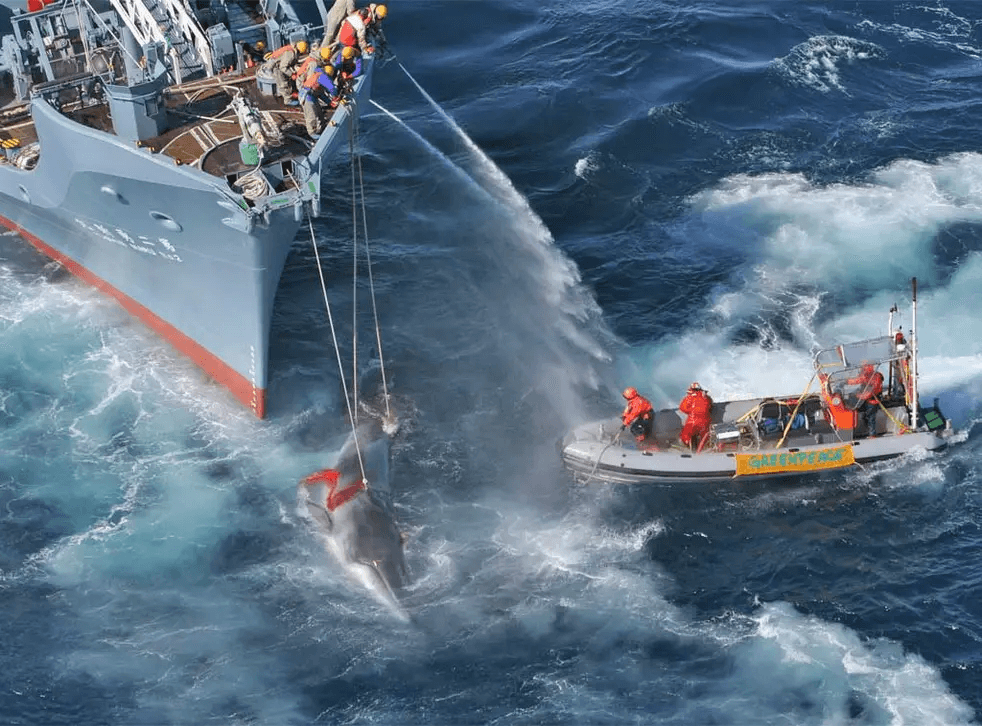 In a visual representation of David vs. Goliath, a small Greenpeace boat confronts an enormous Russian whaling ship on the high seas. ©Greenpeace