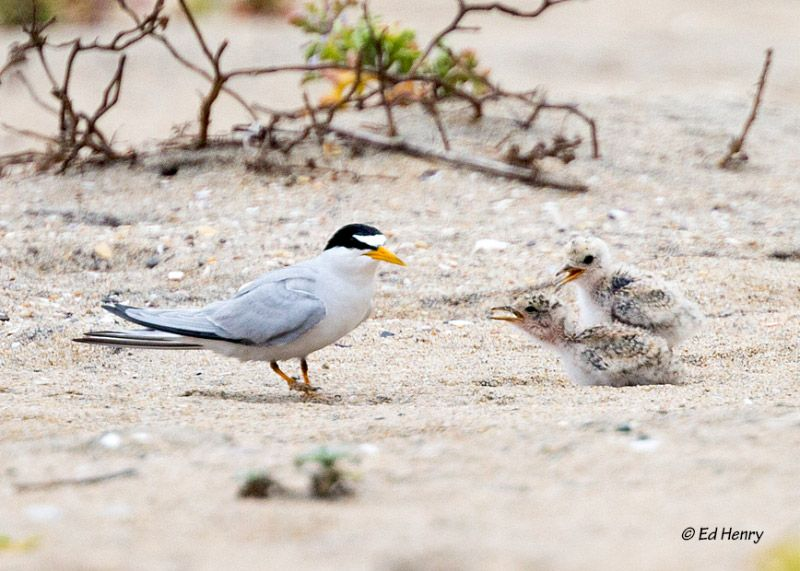 Endangered Species Spotlight: California Least Tern