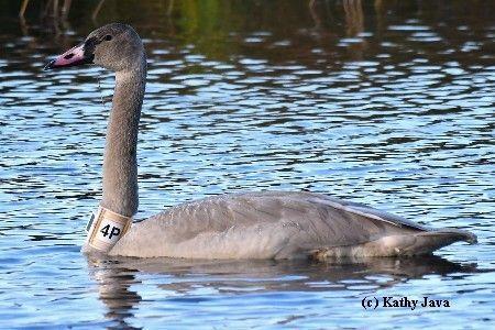 GPS/GSM collared swan