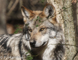 M943 Mexican wolf Himuti