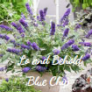 Lo and Behold Blue Chip
