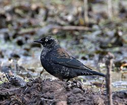 Rusty Blackbird (adult male - winter plumage)