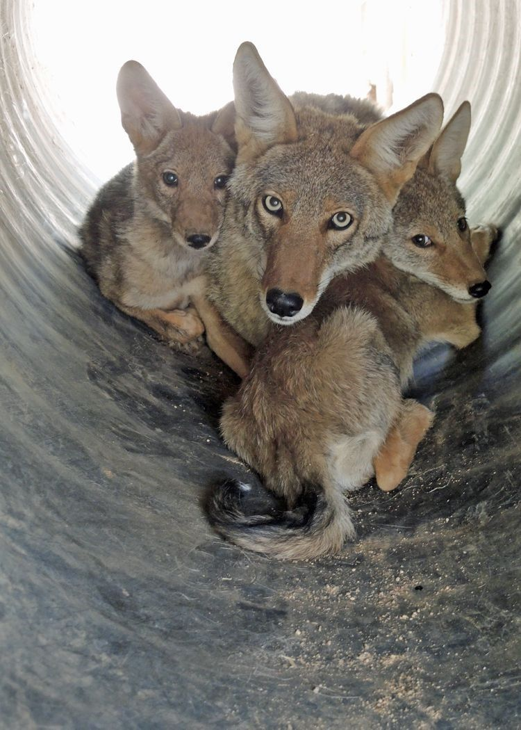 Father's Day Fosters: Moon the Coyote Dad