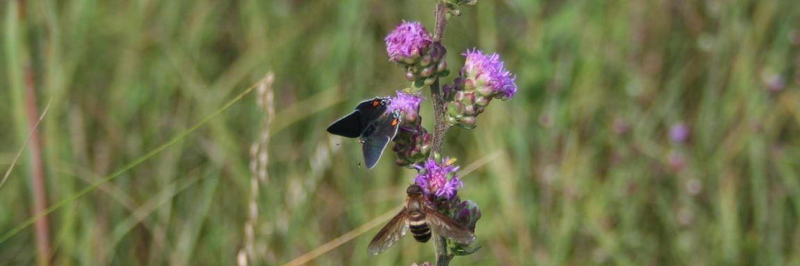 Help Pollinators