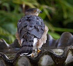 Cooper's Hawk (adult)