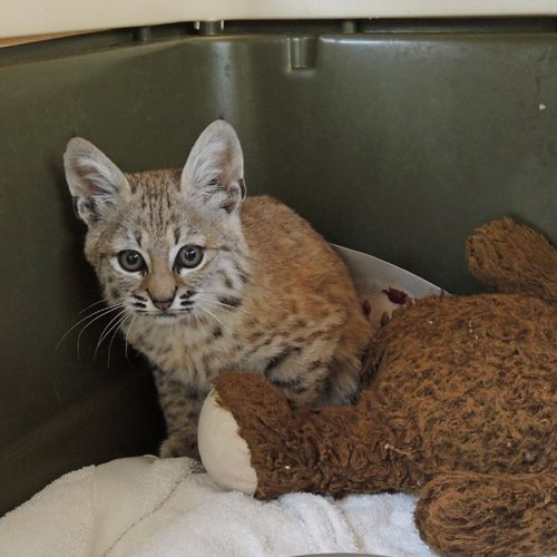 Dizzy Bobcat's Foster Kittens 1 of 2