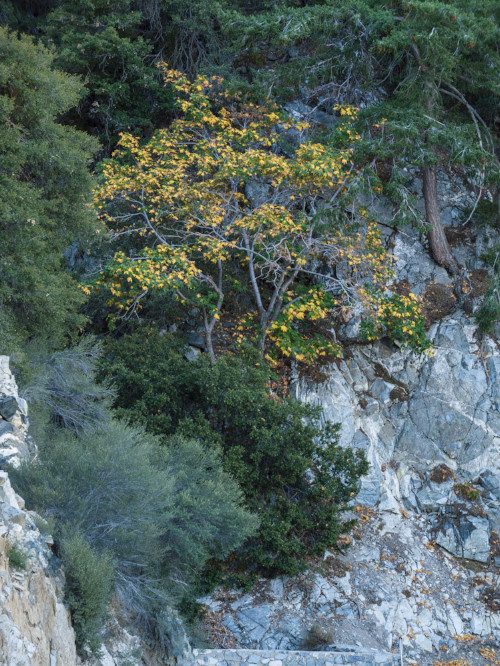 Autumnal Tree, Angeles National Forest, Photography,