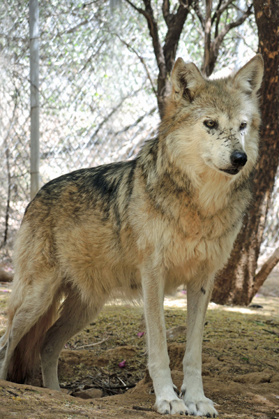 F986 Toluca Mexican Gray Wolf Southwest Wildlife Scottsdale Arizona