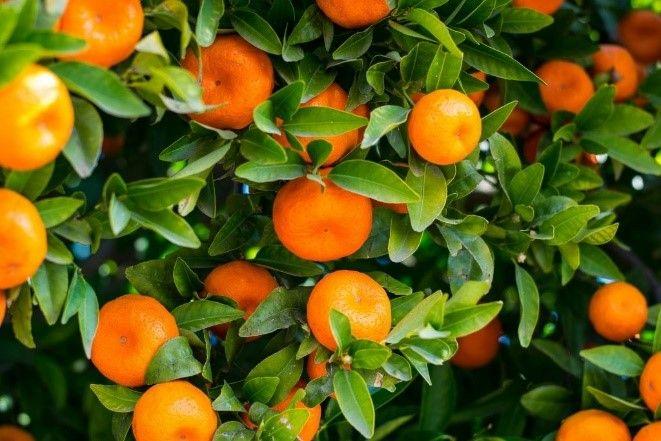 """Garden Talk: """"History of Florida's Citrus Industry"""""""