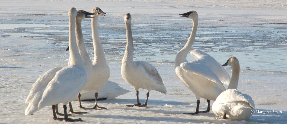 The Trumpeter Swan Society's volunteer Board of Directors oversees the Society's programs and activities