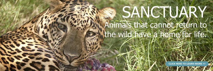 Sanctuary leopard