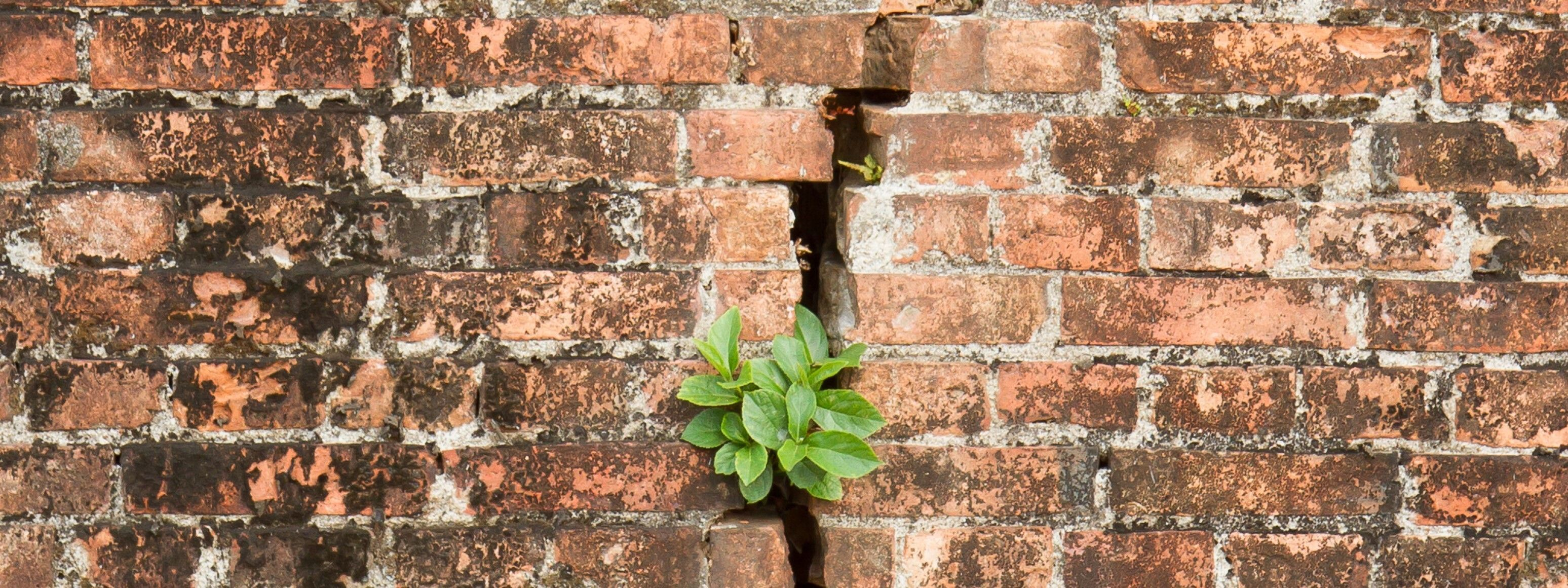 """For many descendants of enslaved Africans, genealogy research hits a """"brick wall"""" or a dead end at 1865. This image of the green plant breaking through the brick wall symbolizes both the ability of the 246 Years Project to break the genealogical """"brick wa"""