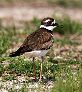 Beak of the Week: Killdeer