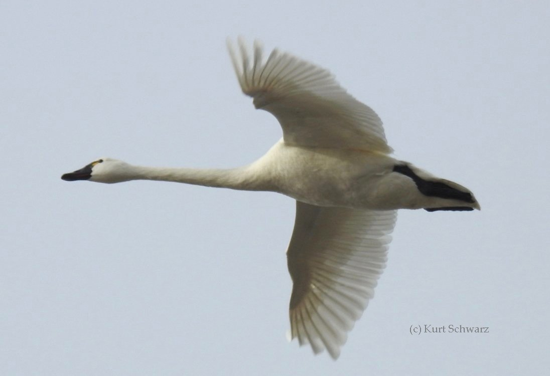 Tundra Swan Flight Profile