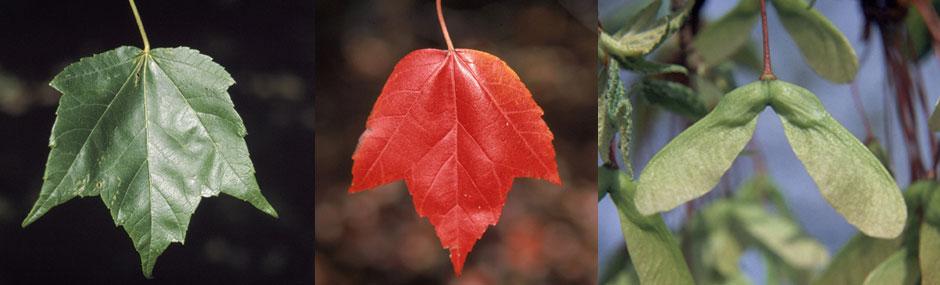 """Red Maple Pack of 100 Seedlings (6""""-12"""")"""