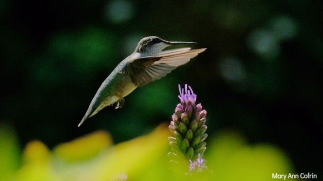 Rhode Island's Little Feathered Pollinator