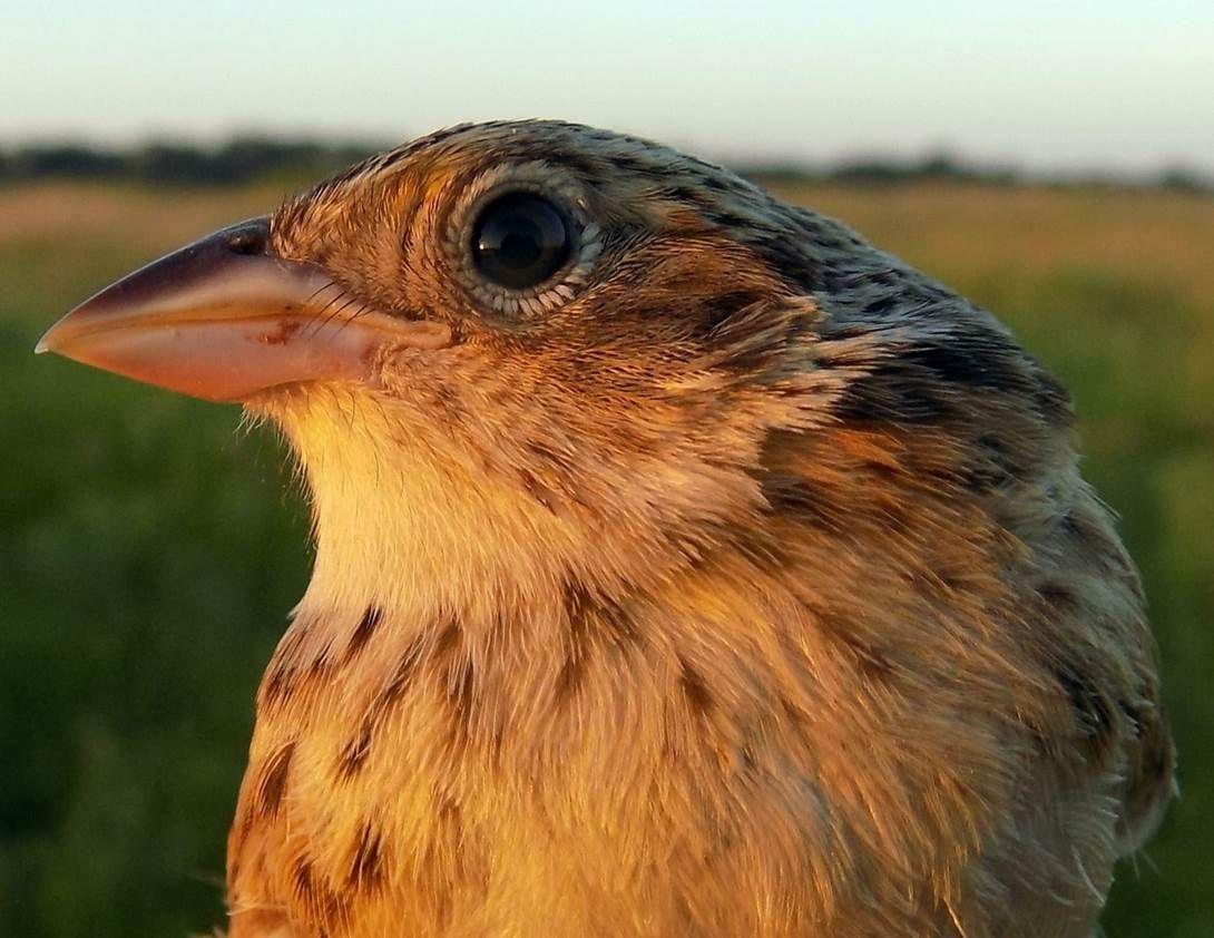Sparrows as Superheroes