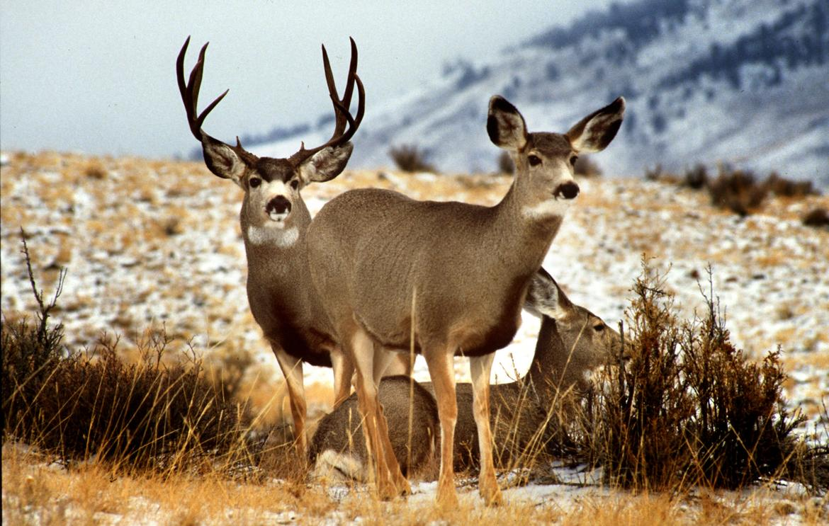 Science on TAP! Mule Deer in Wenatchee Valley