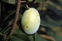 """Pawpaw - Pack of 100 Seedlings ((6""""-12"""")"""