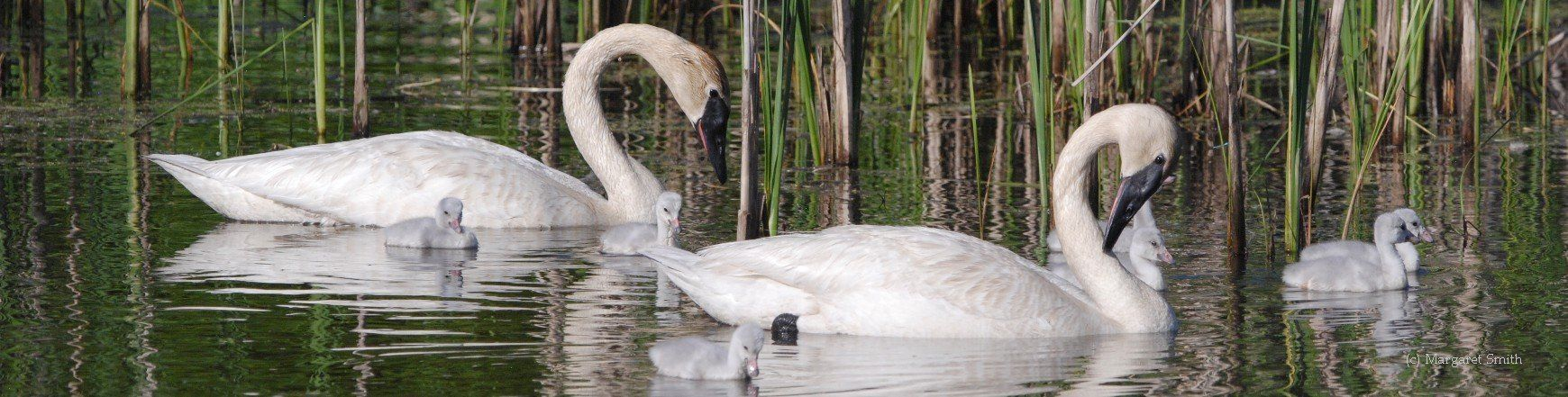 Discover the fascinating stories of efforts across North America to bring back the Trumpeter Swan to areas where it was missing for decades